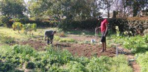 o. Jan Kiełbasa przy sadzeniu cebuli