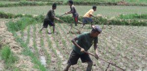 radelkowanie ryzu